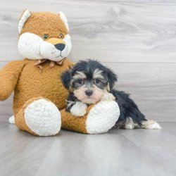 Get Home a Morkie Puppy Available for Sale in Ohio