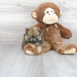 Healthy Collection of Pomeranian Puppies for Sale in Ohio