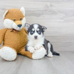 Affordable Pomsky Puppies for Sale in Ohio