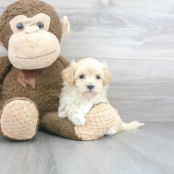 Top Collection of Maltipoo Puppies For Sale in Ohio